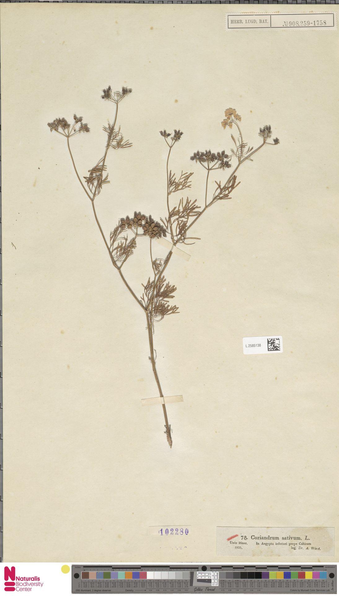 L.2585138 | Coriandrum sativum L.