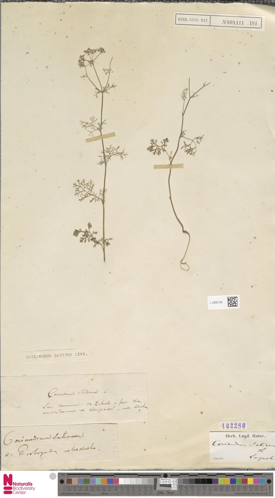 L.2585139 | Coriandrum sativum L.