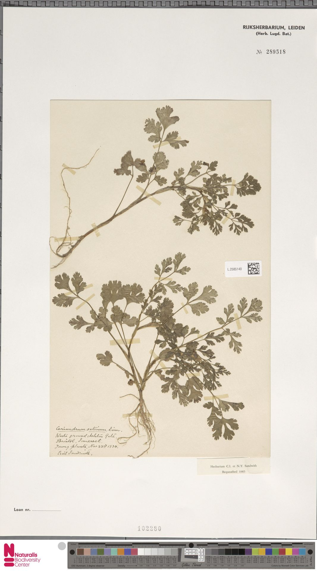 L.2585140   Coriandrum sativum L.