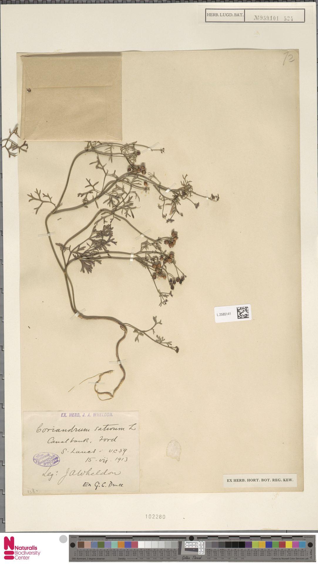 L.2585141 | Coriandrum sativum L.