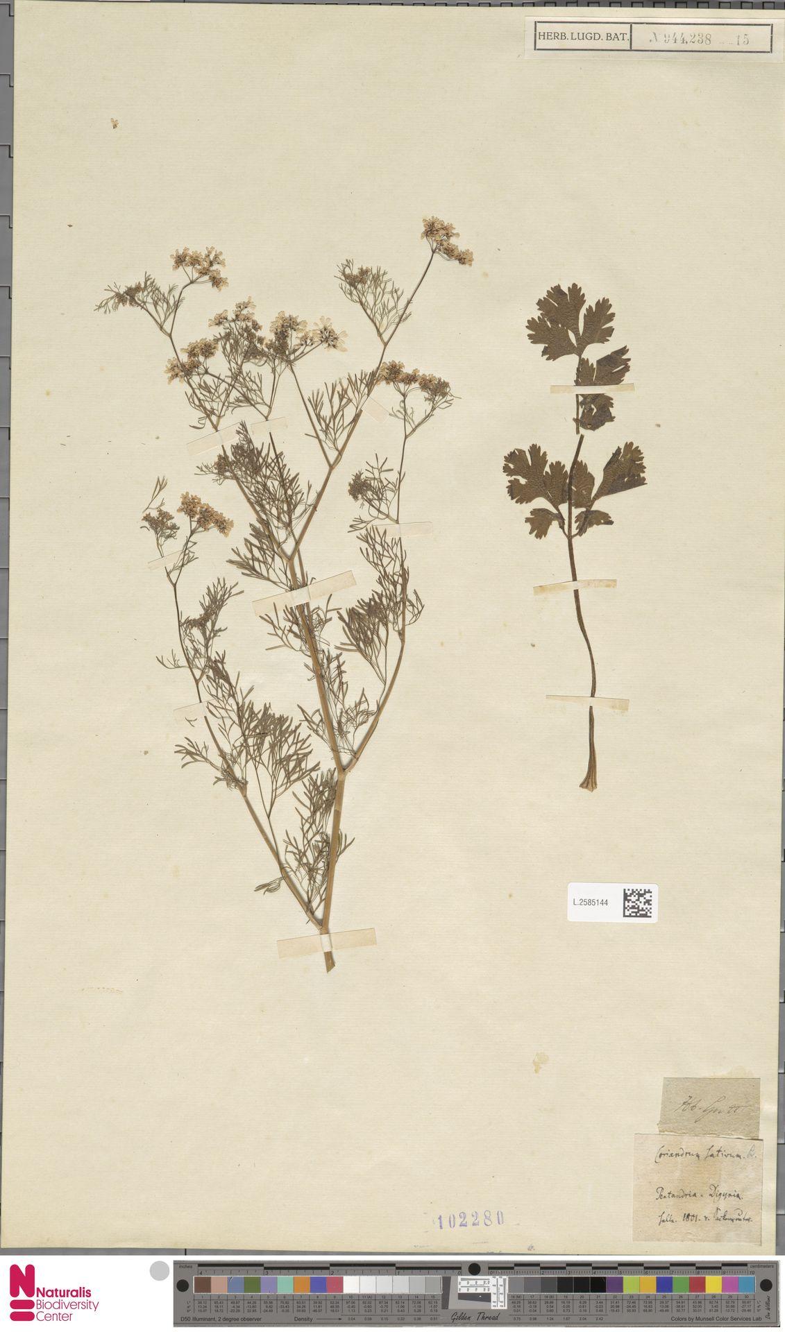 L.2585144 | Coriandrum sativum L.