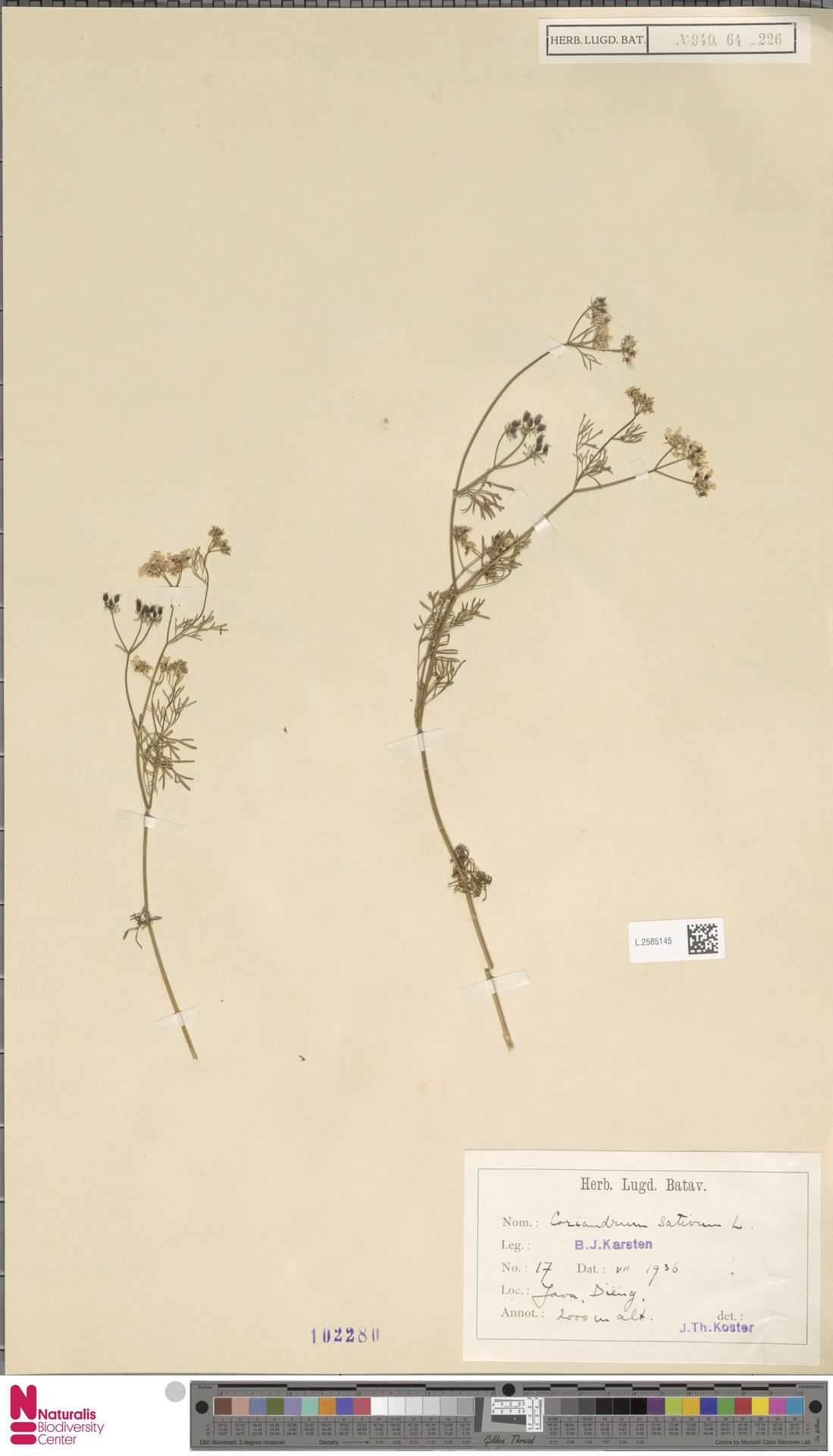 L.2585145 | Coriandrum sativum L.