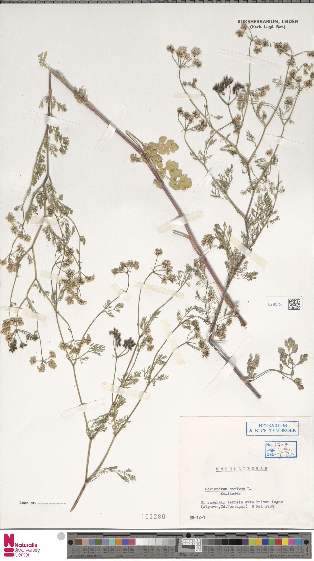 L.2585150 | Coriandrum sativum L.