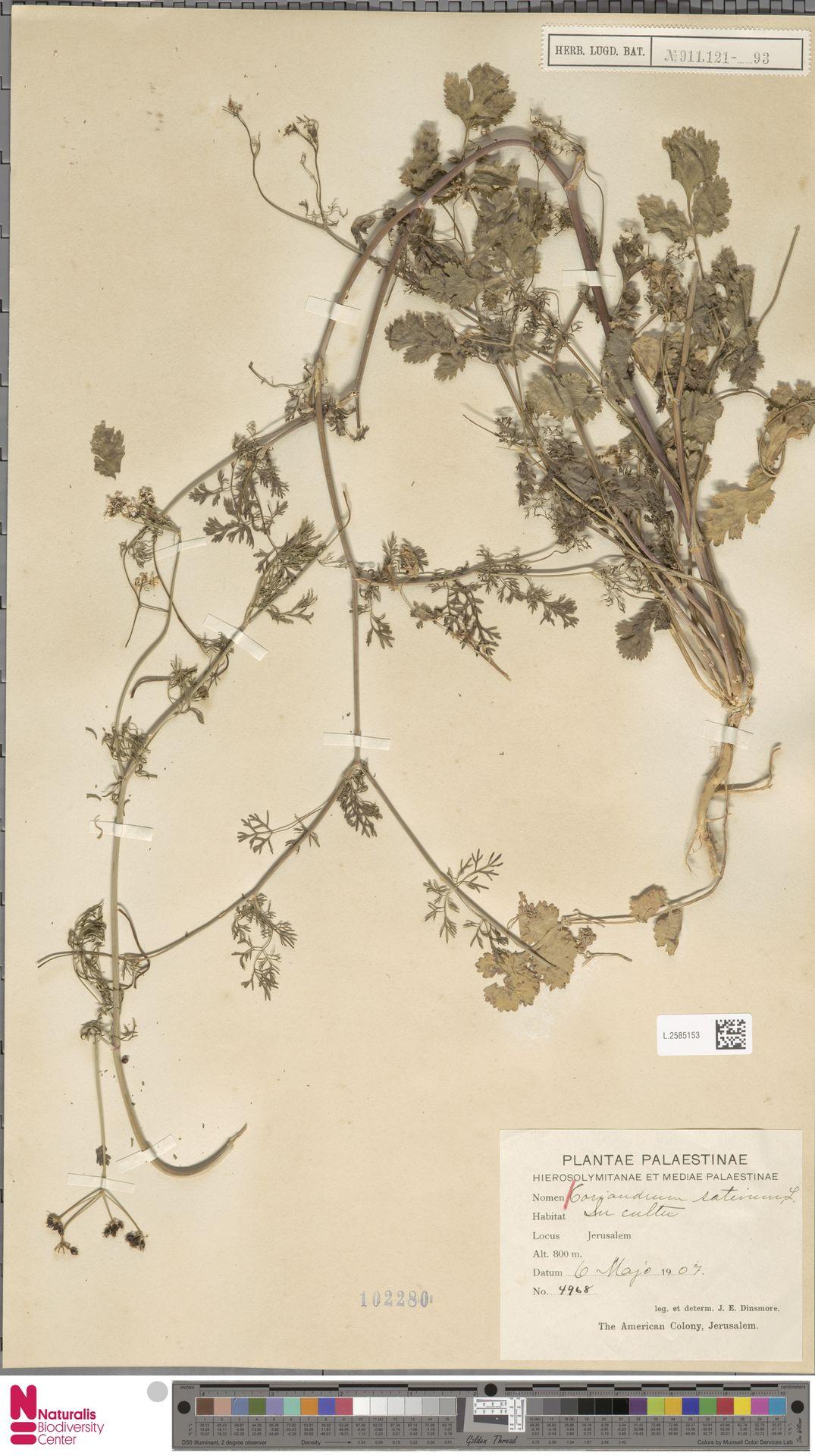 L.2585153   Coriandrum sativum L.