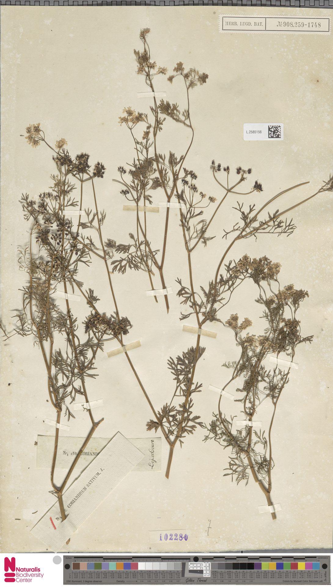 L.2585156   Coriandrum sativum L.
