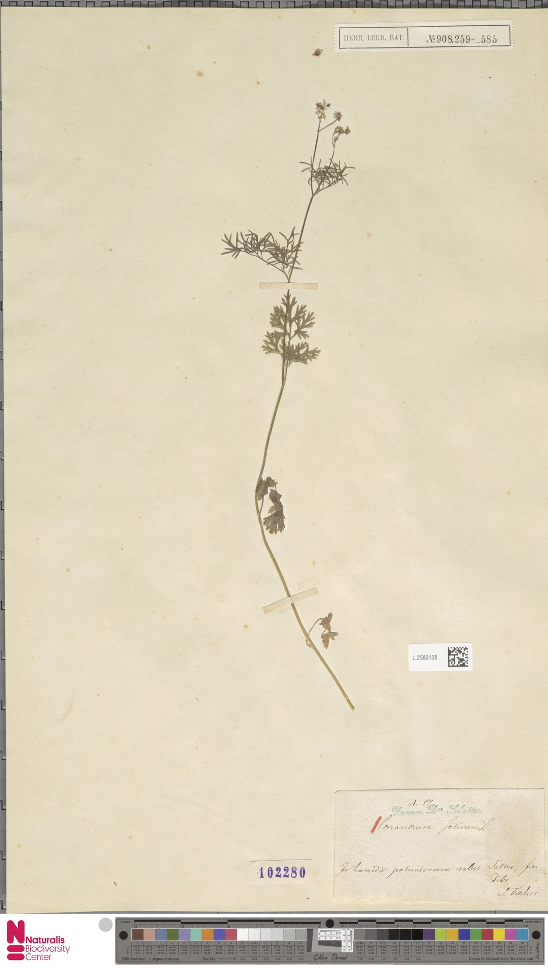L.2585158 | Coriandrum sativum L.