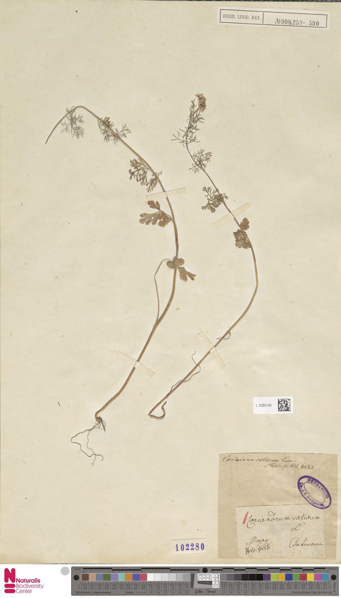 L.2585159 | Coriandrum sativum L.