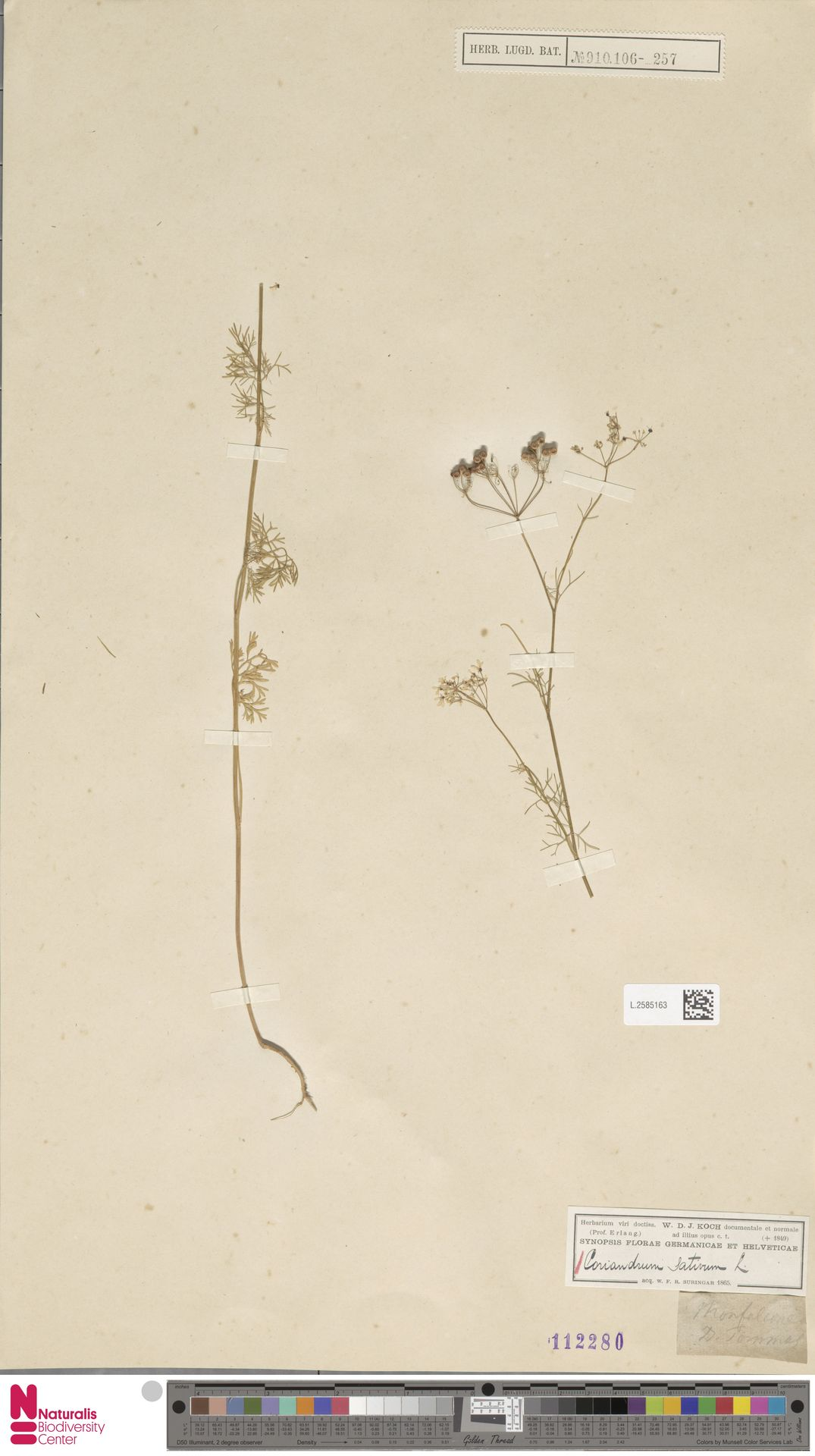 L.2585163 | Coriandrum sativum L.