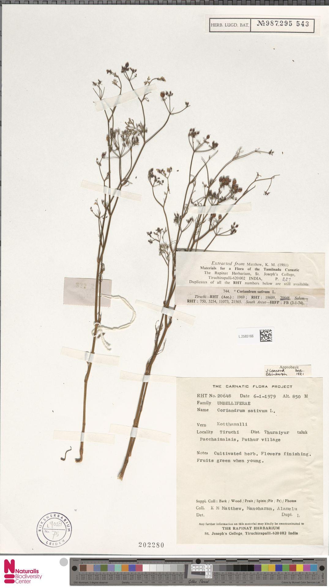 L.2585166   Coriandrum sativum L.
