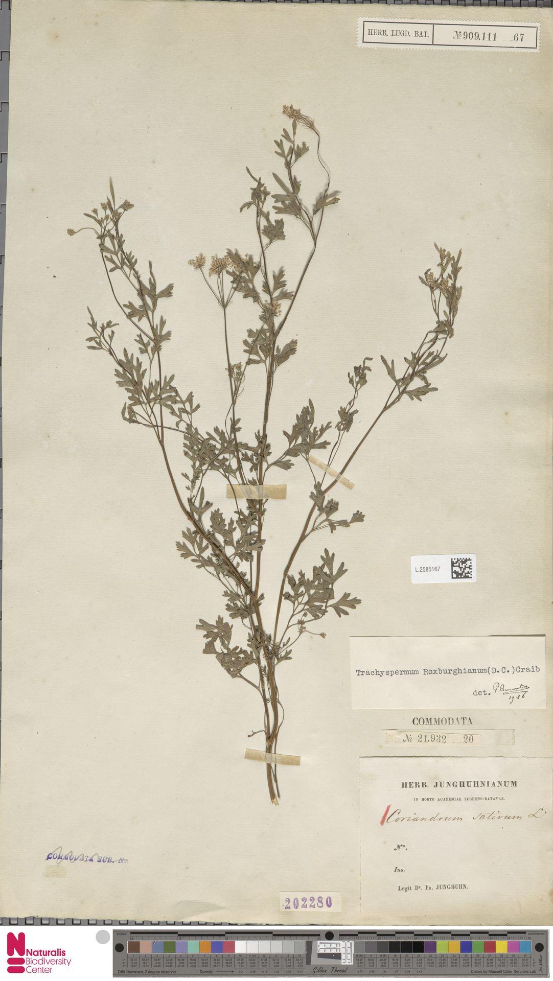 L.2585167   Coriandrum sativum L.