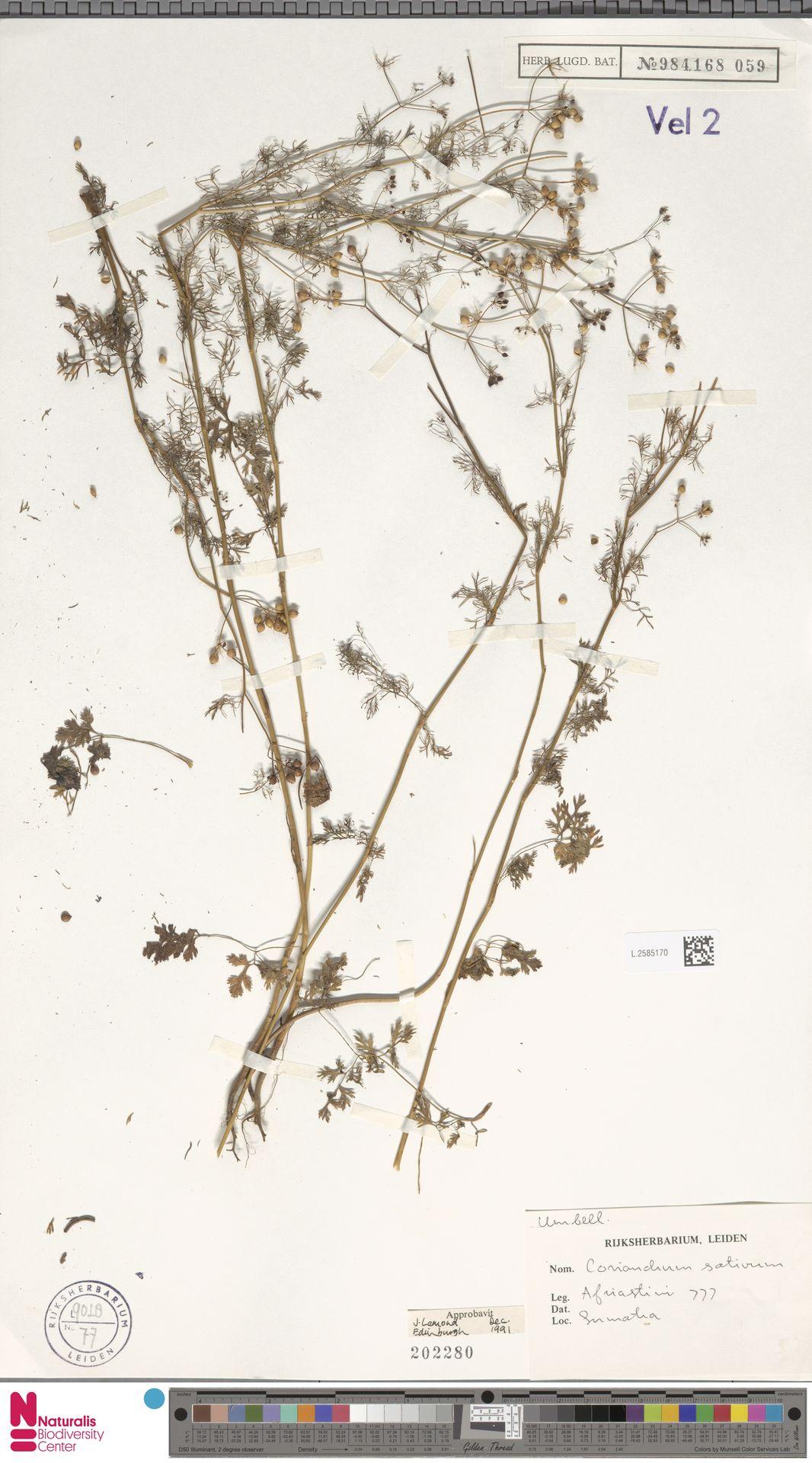 L.2585170 | Coriandrum sativum L.