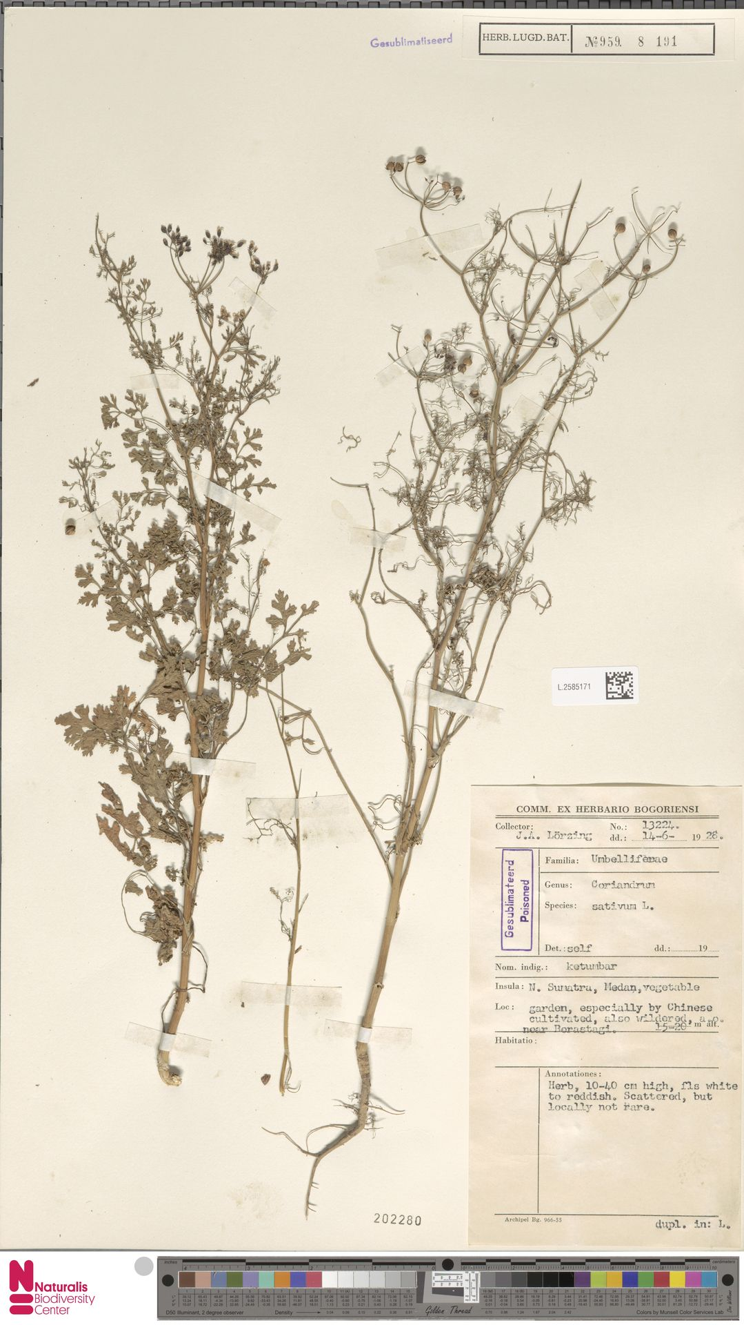 L.2585171 | Coriandrum sativum L.