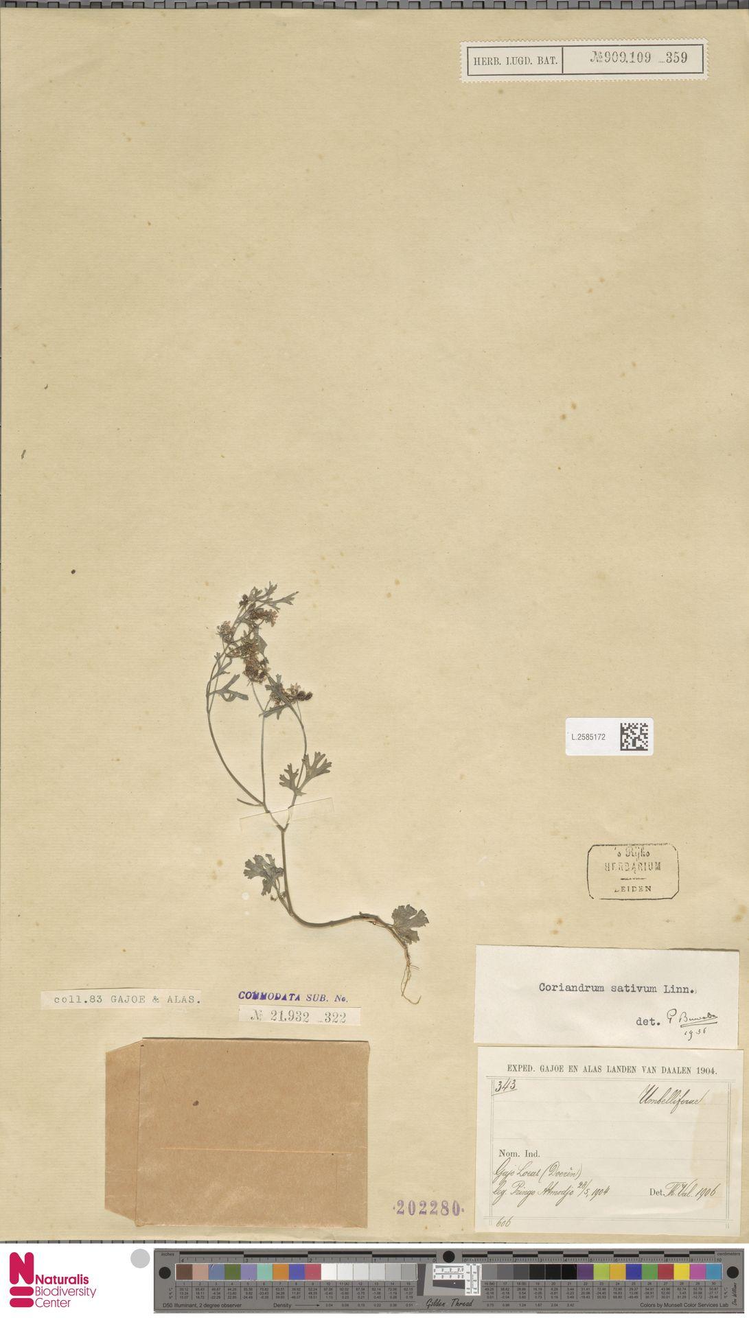 L.2585172 | Coriandrum sativum L.