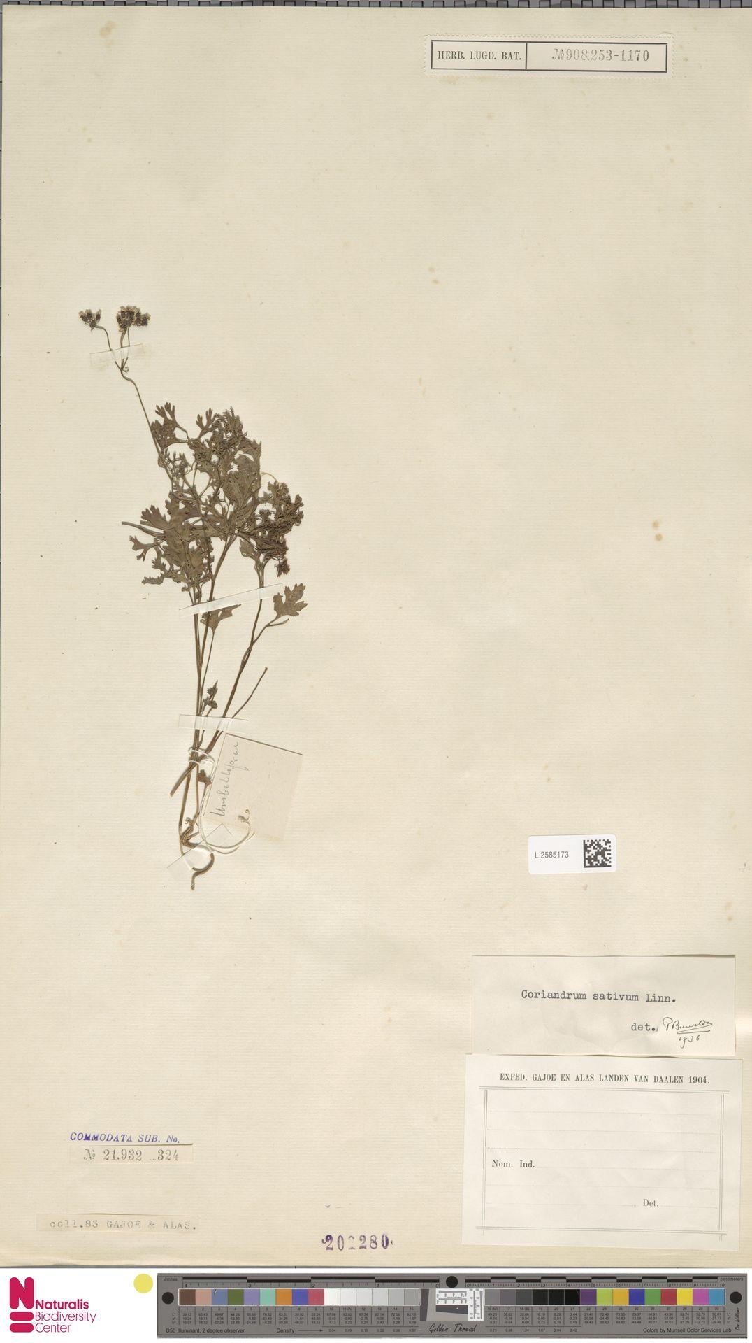 L.2585173 | Coriandrum sativum L.