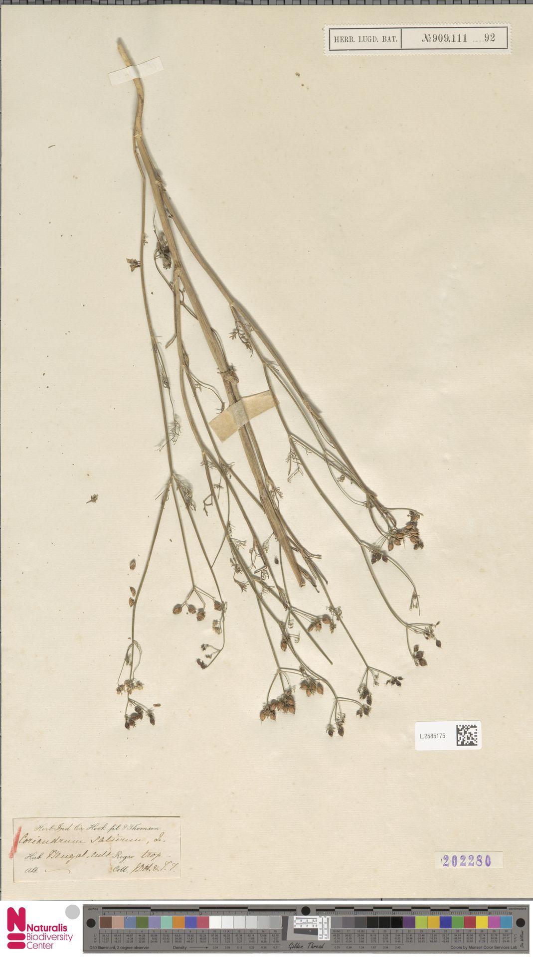 L.2585175 | Coriandrum sativum L.