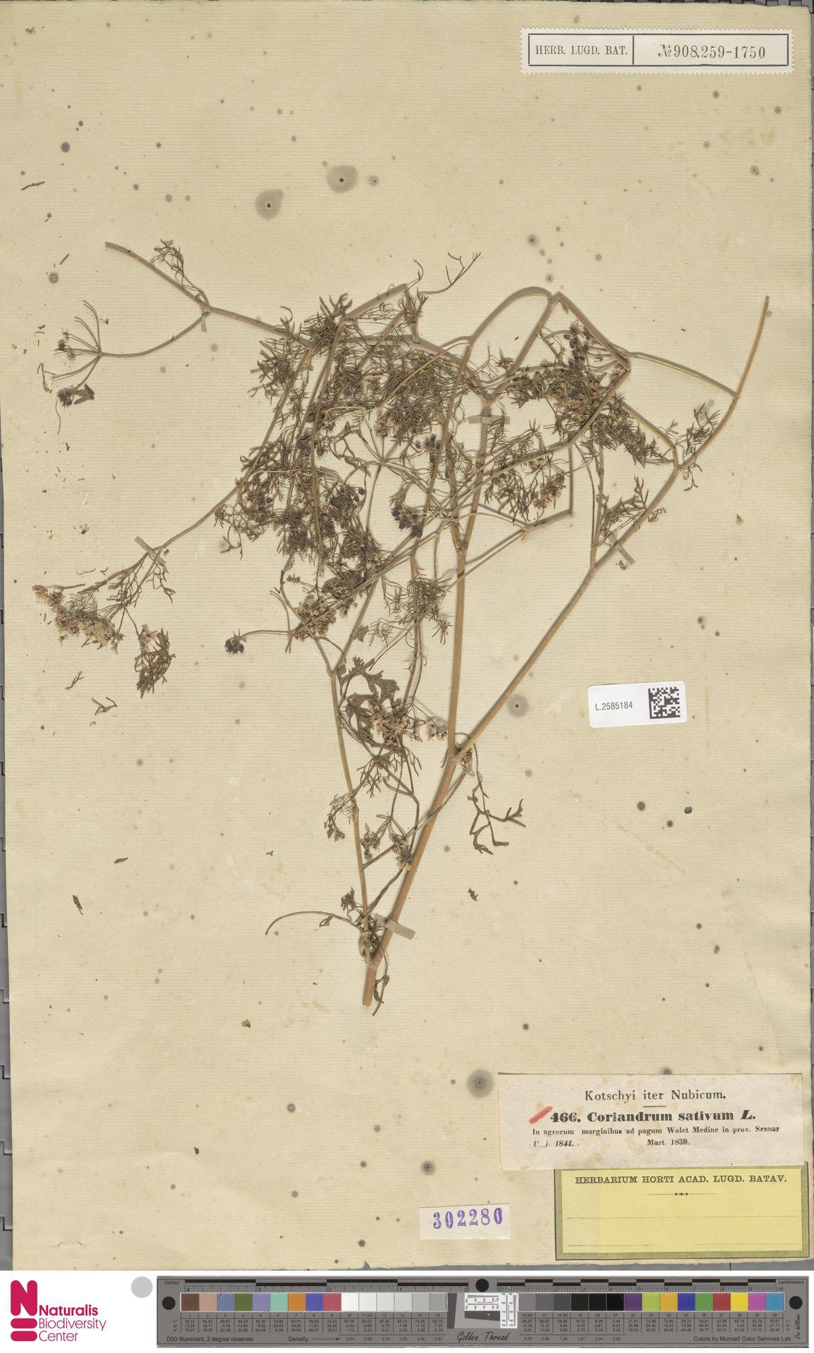 L.2585184 | Coriandrum sativum L.