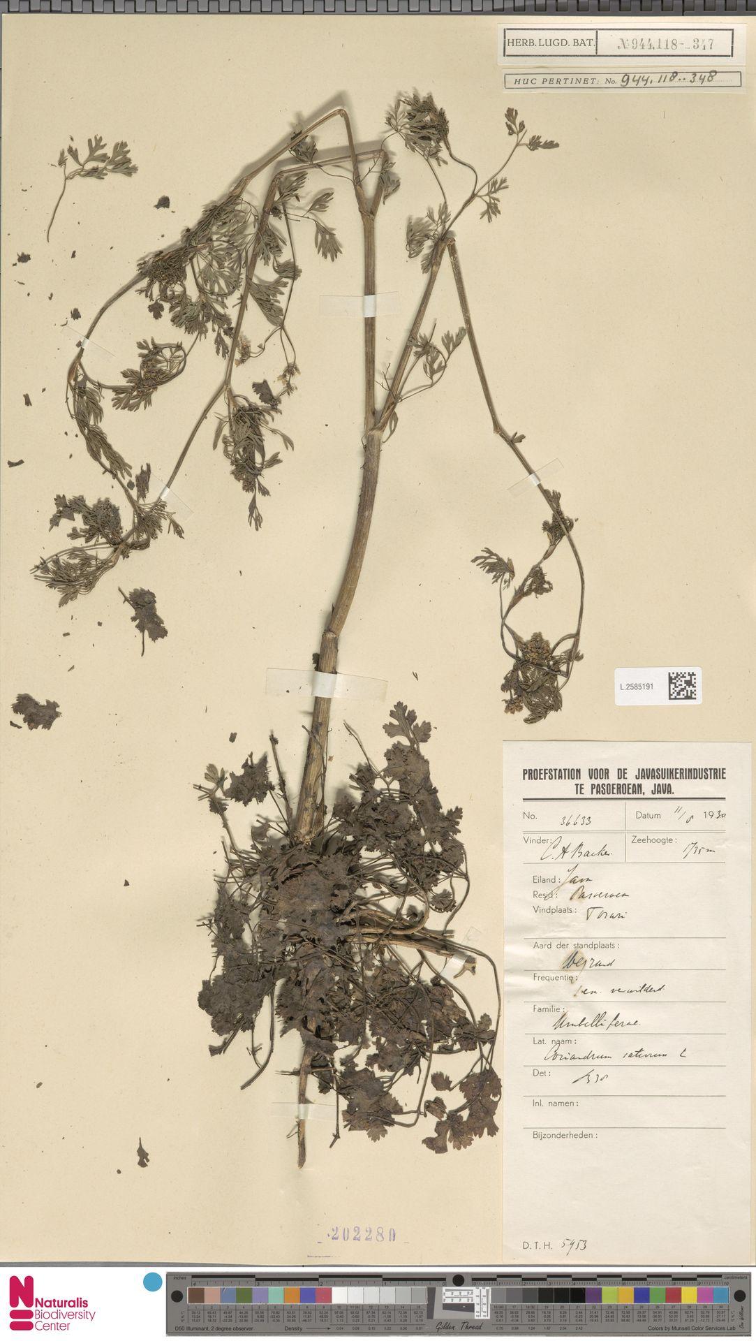 L.2585191 | Coriandrum sativum L.