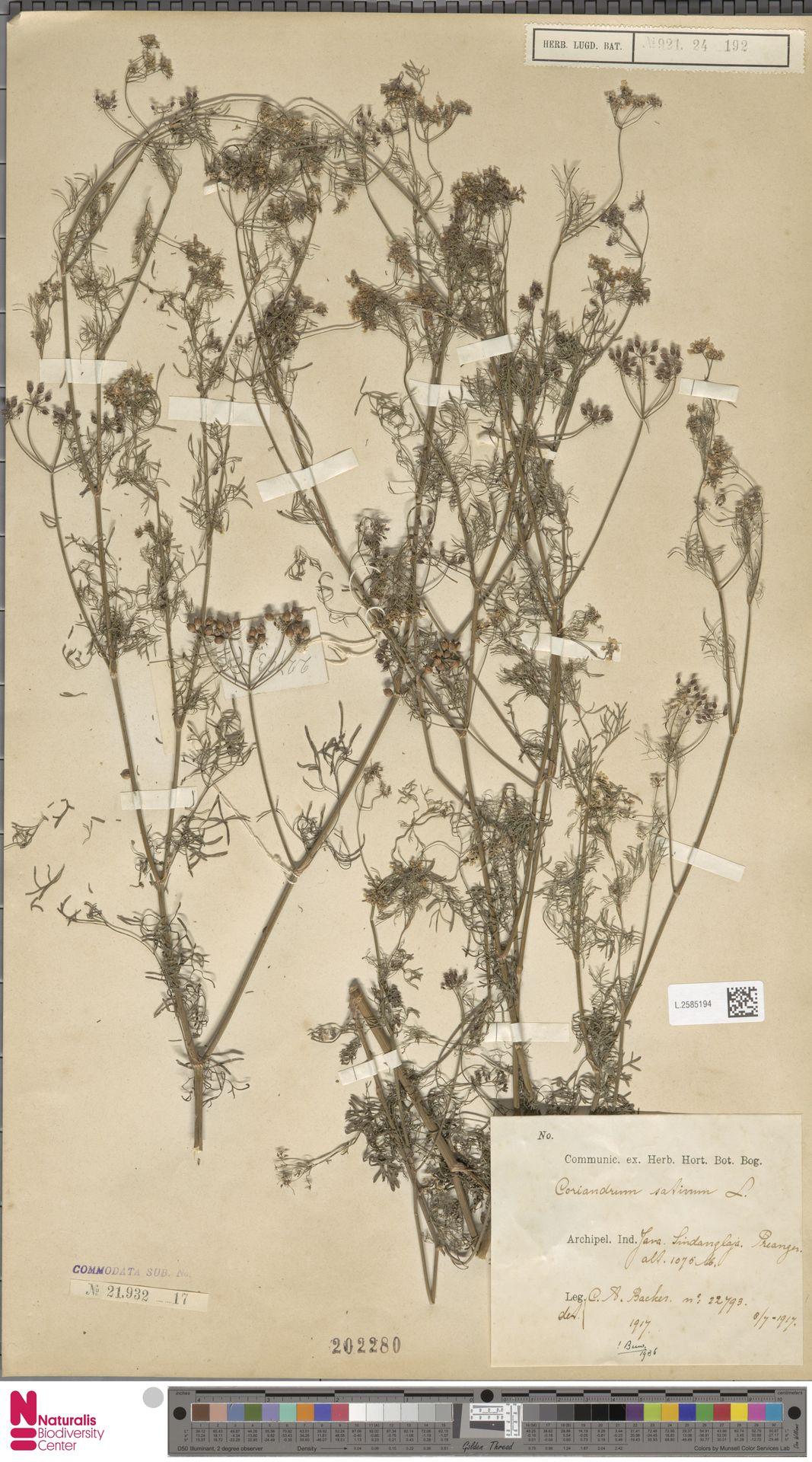 L.2585194 | Coriandrum sativum L.