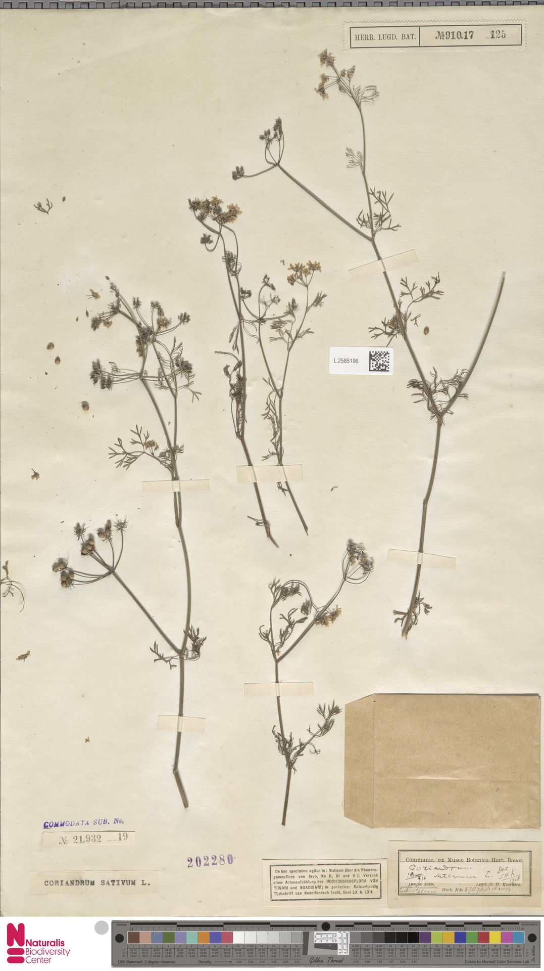 L.2585196 | Coriandrum sativum L.