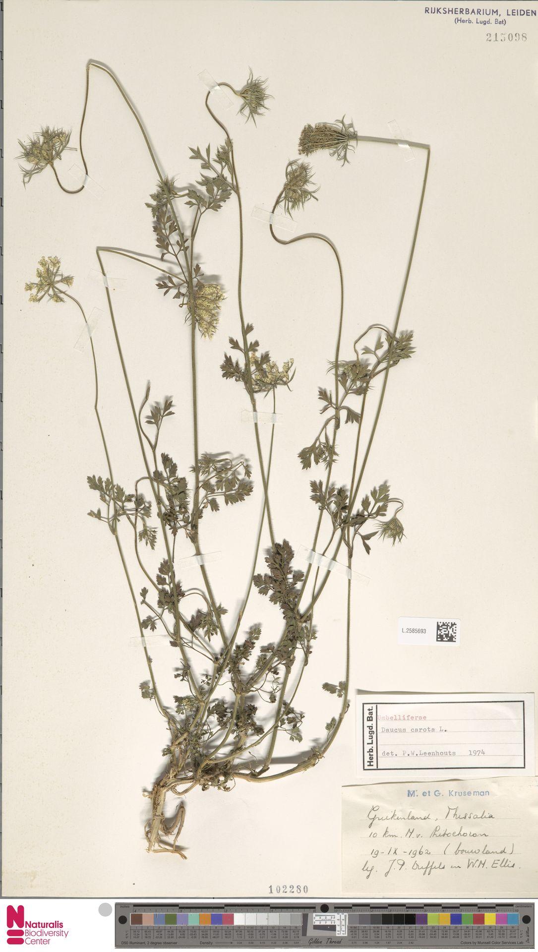 L.2585693 | Daucus carota L.