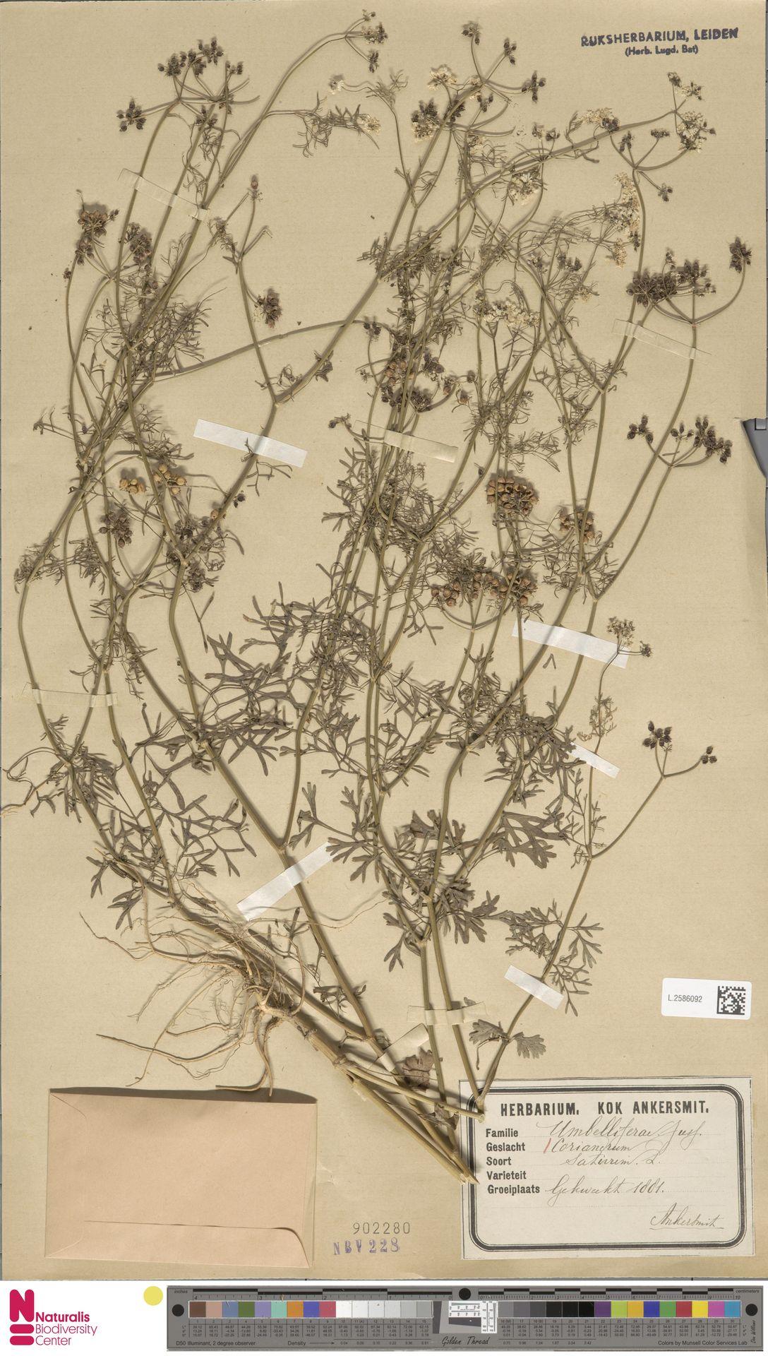 L.2586092 | Coriandrum sativum L.