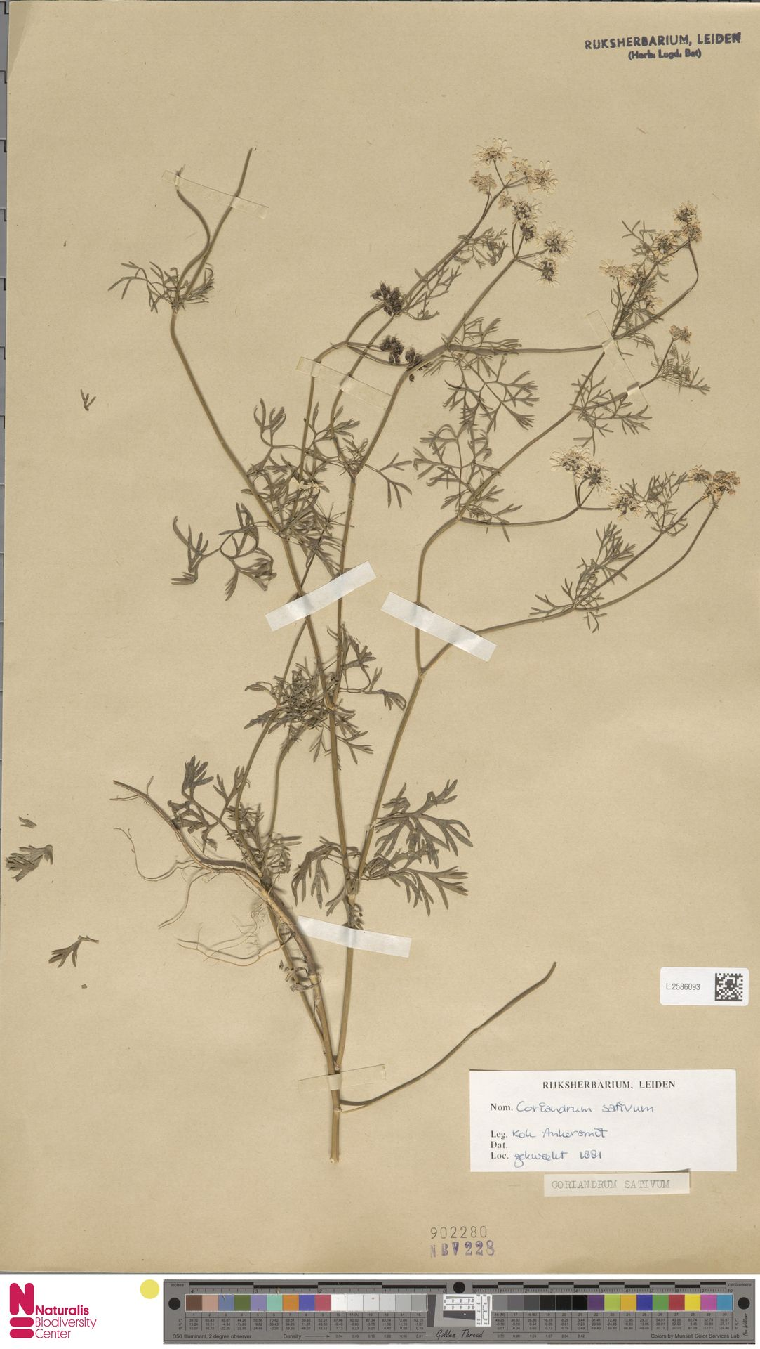 L.2586093 | Coriandrum sativum L.