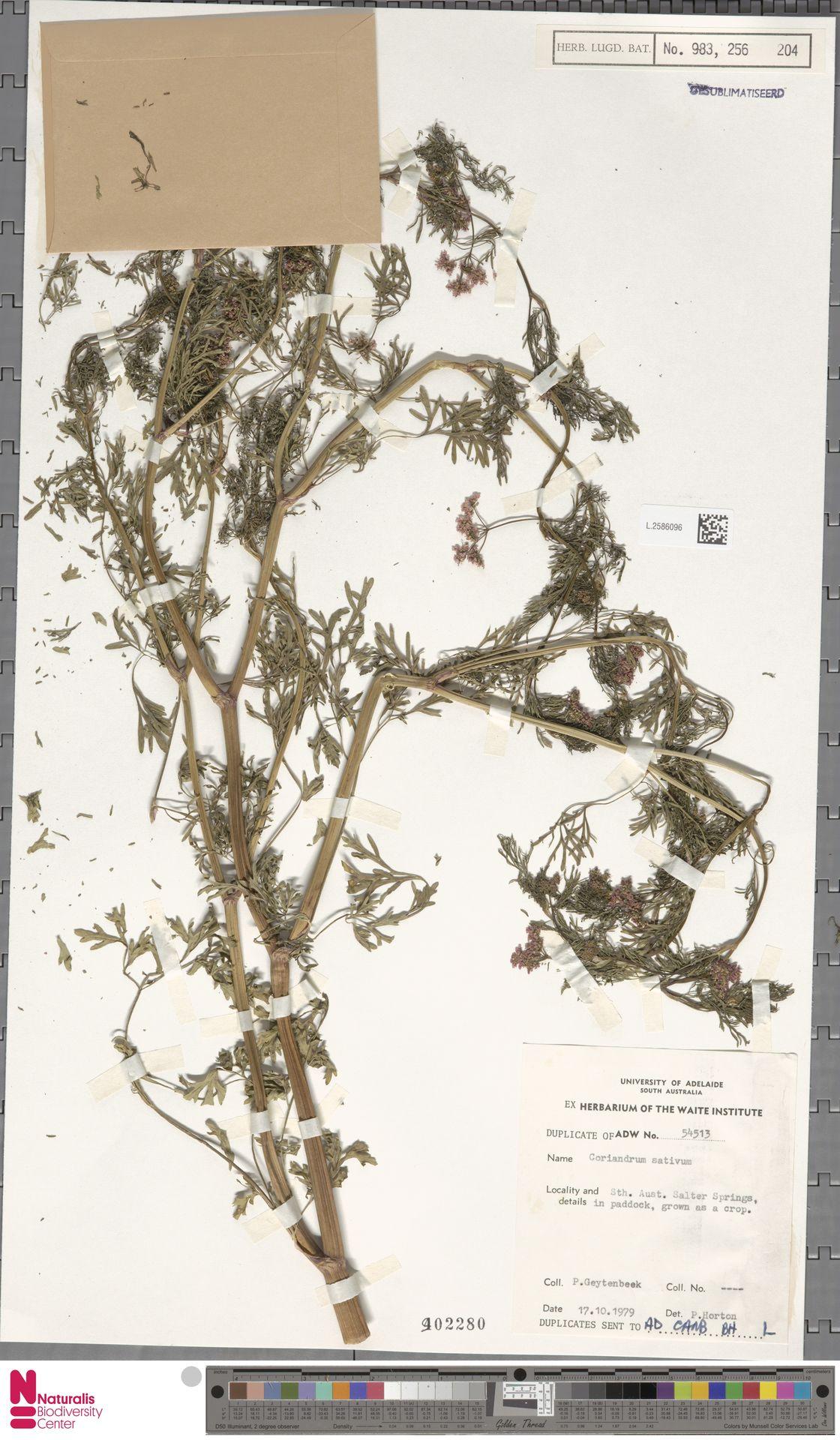 L.2586096 | Coriandrum sativum L.