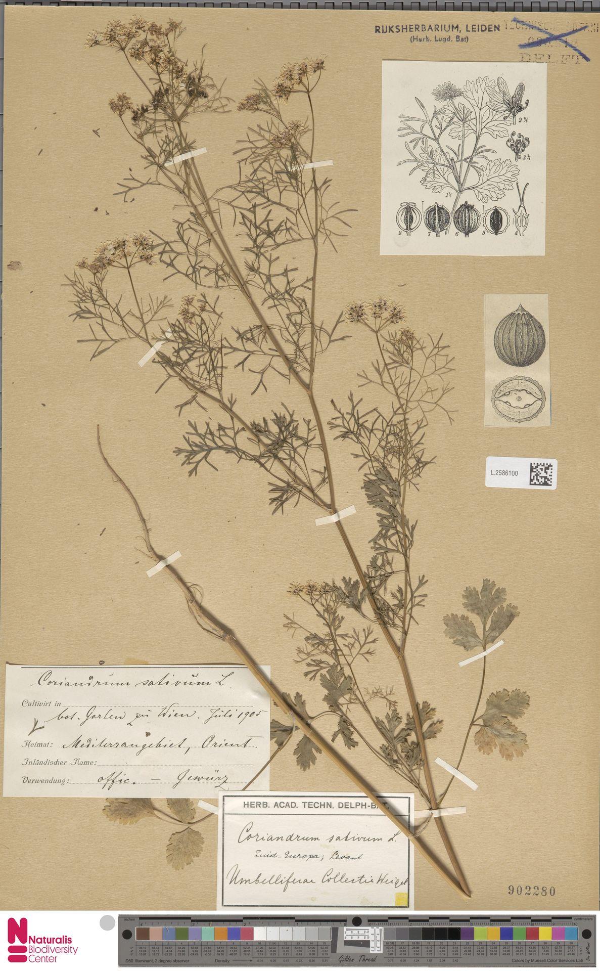 L.2586100   Coriandrum sativum L.