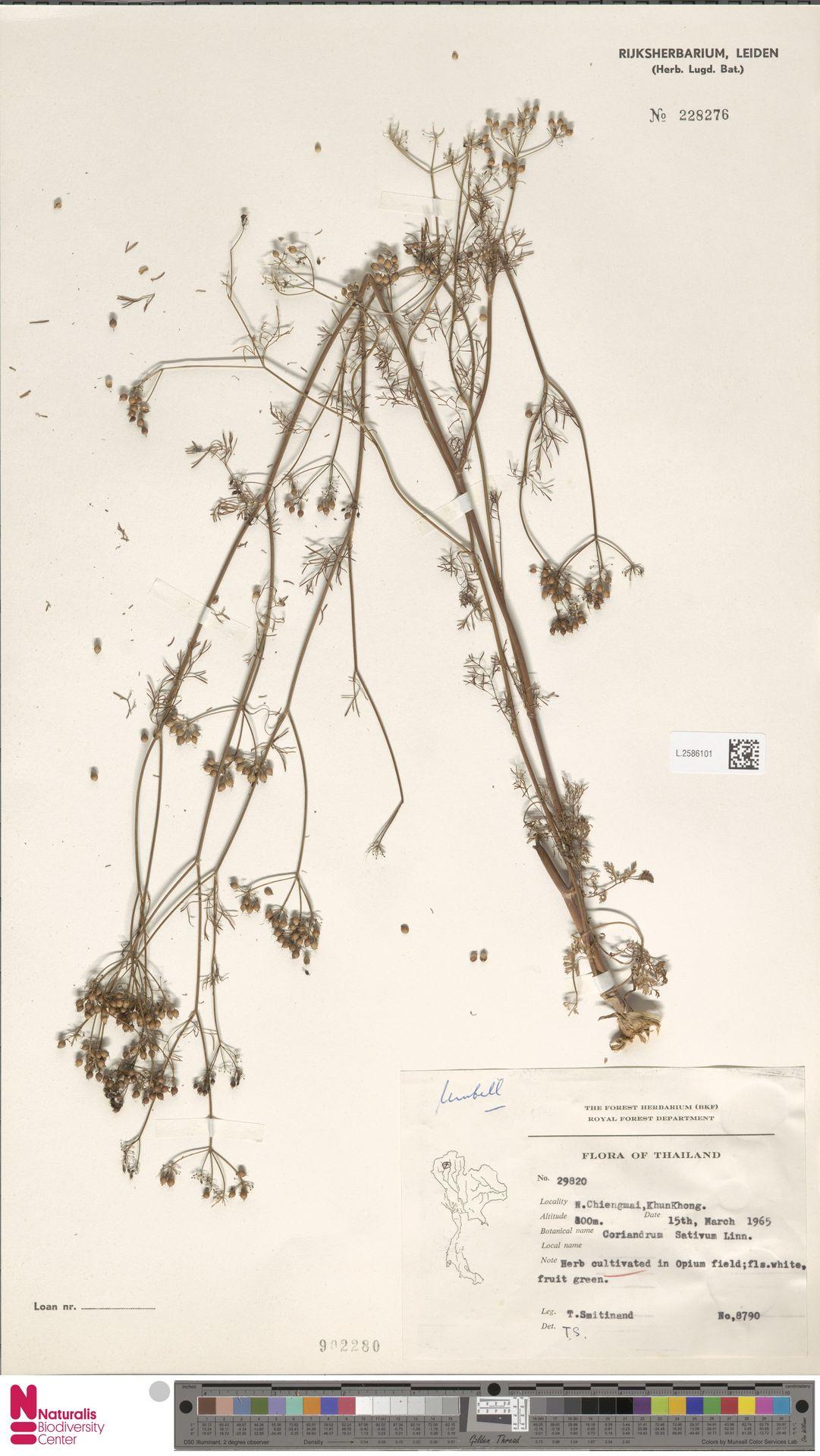 L.2586101 | Coriandrum sativum L.
