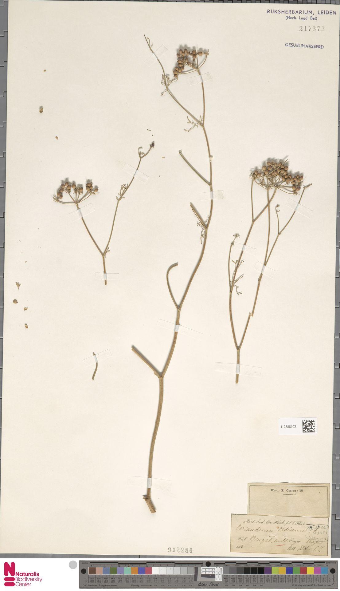 L.2586102 | Coriandrum sativum L.
