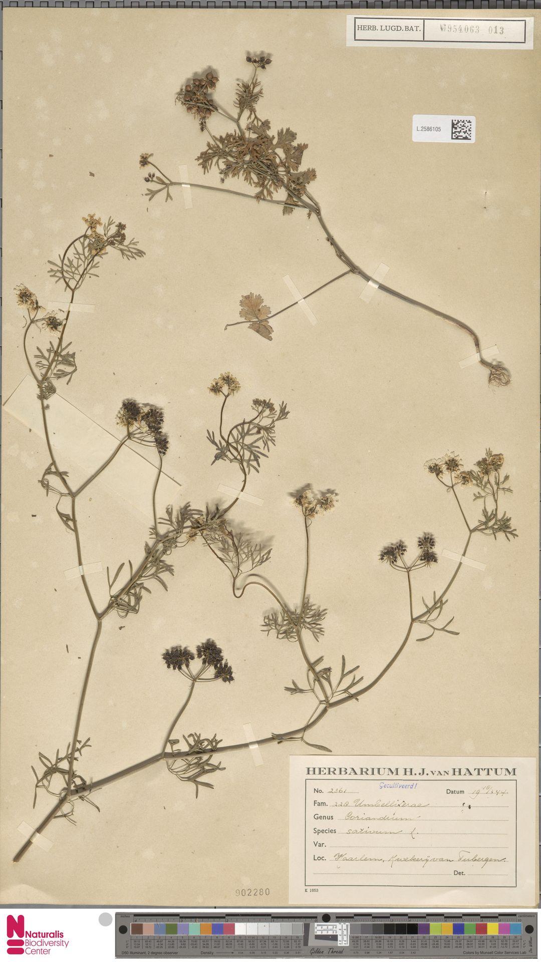 L.2586105 | Coriandrum sativum L.