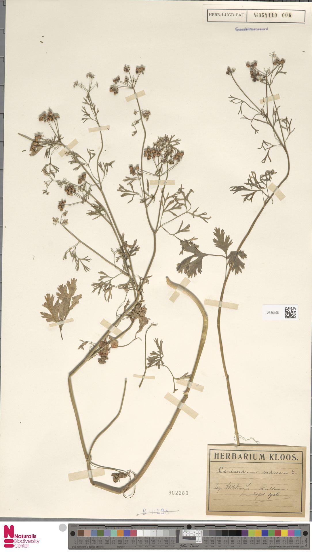 L.2586106 | Coriandrum sativum L.