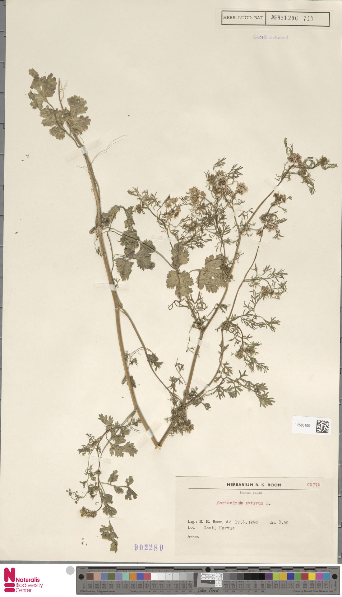 L.2586108 | Coriandrum sativum L.