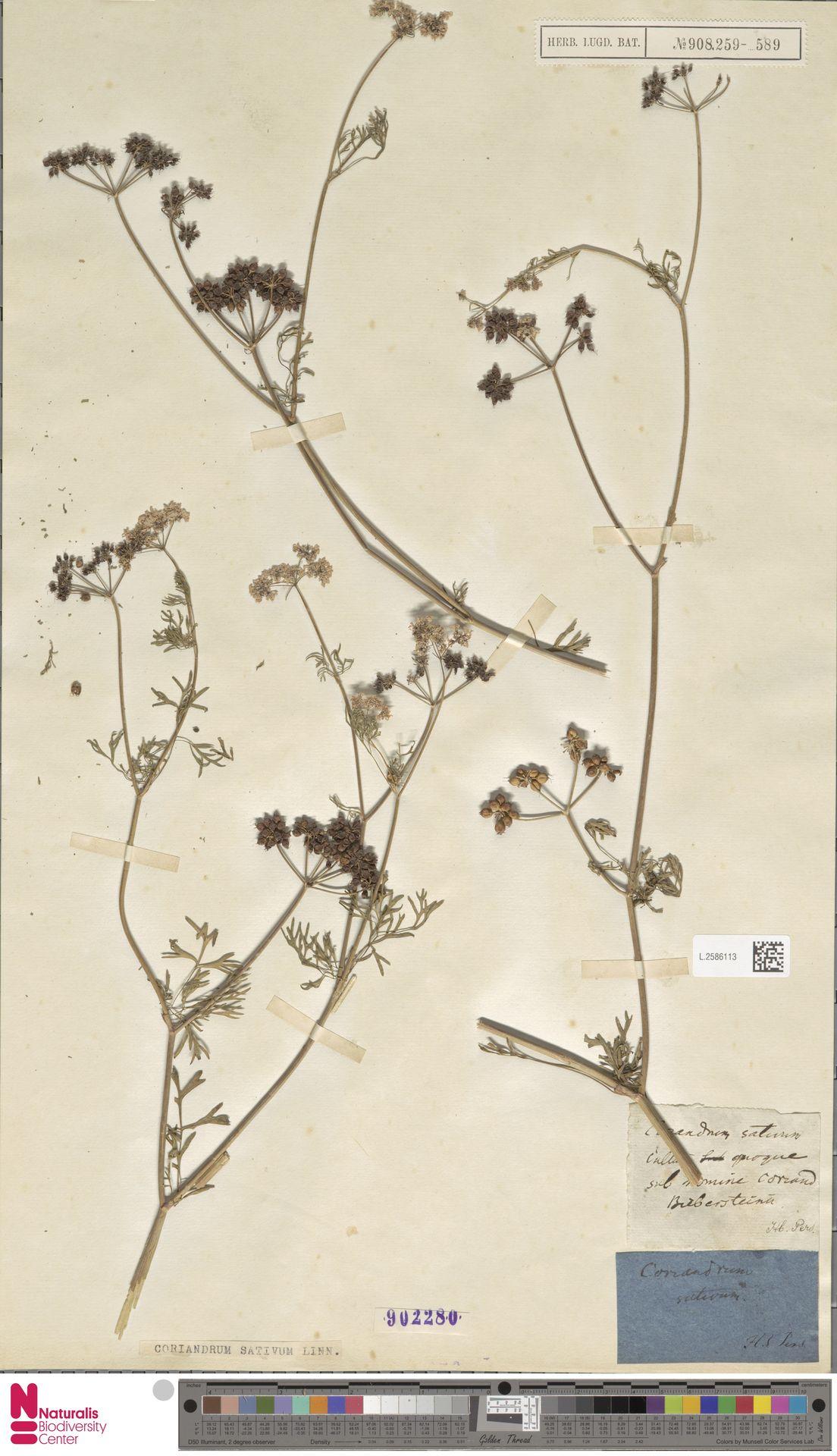 L.2586113 | Coriandrum sativum L.