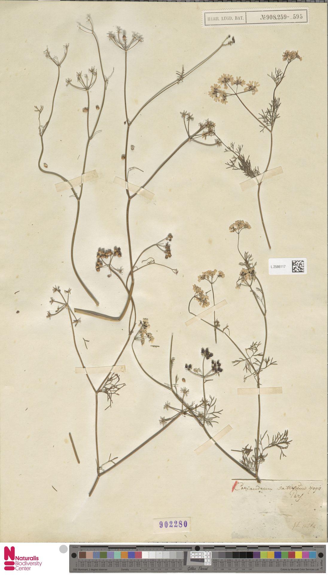 L.2586117   Coriandrum sativum L.