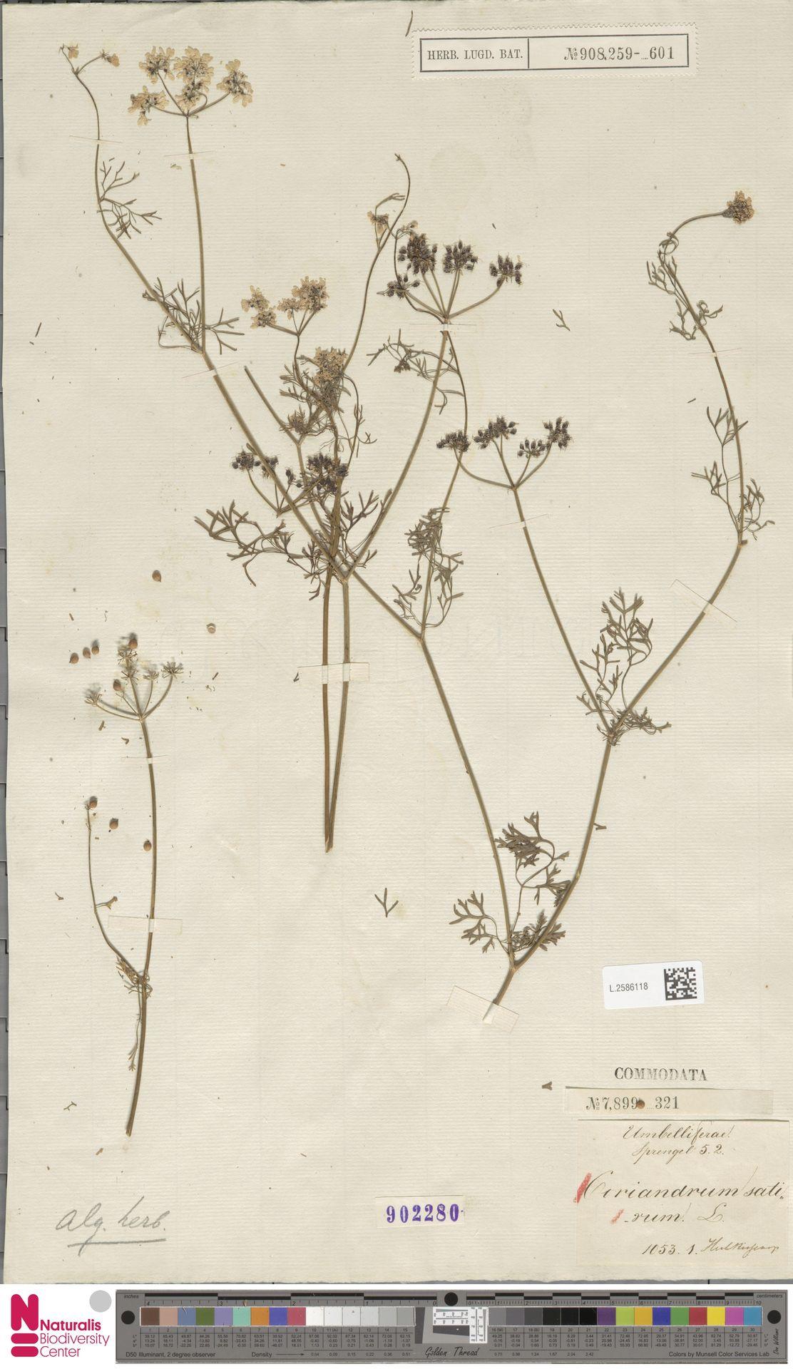 L.2586118 | Coriandrum sativum L.