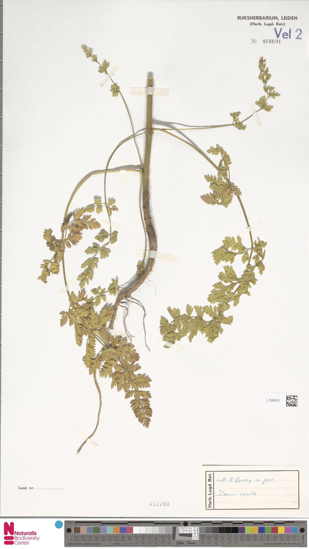 L.2586451 | Daucus carota L.