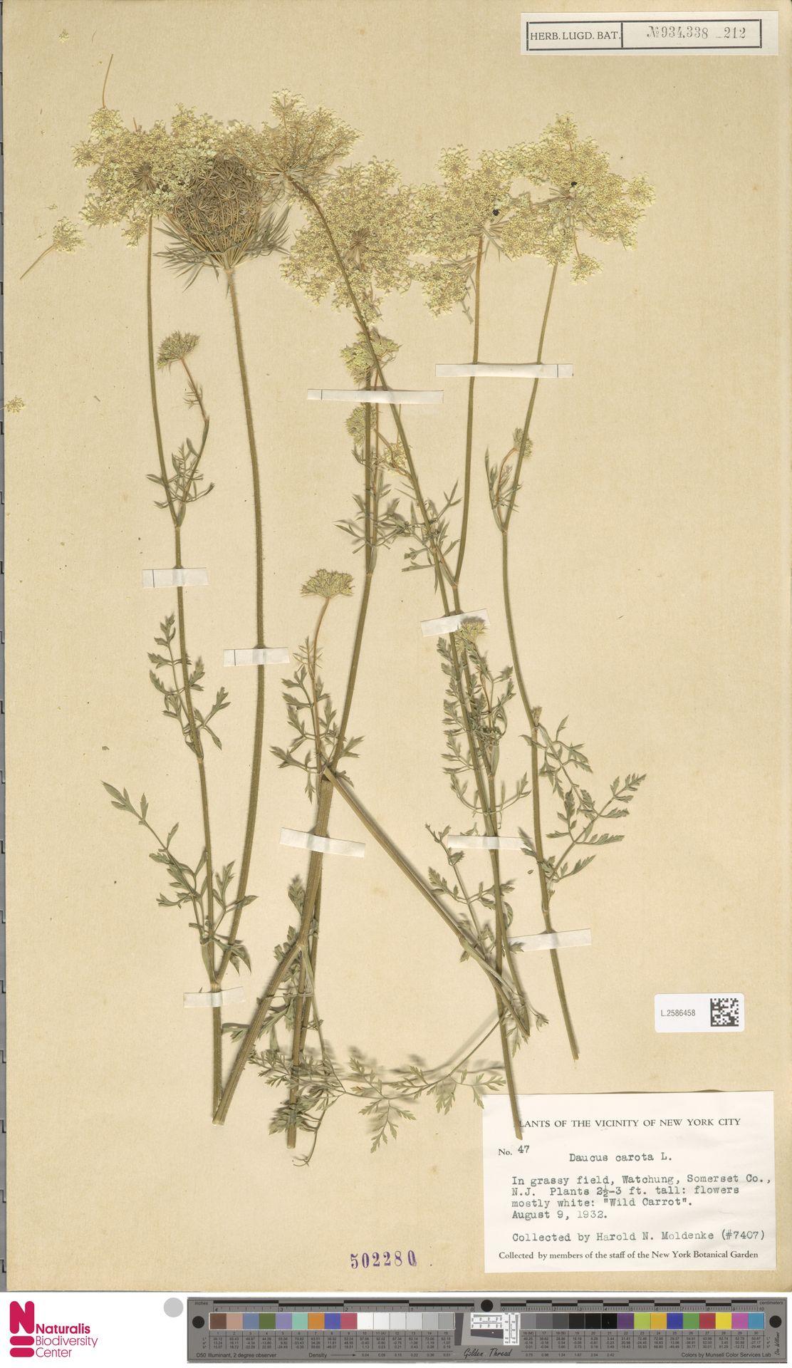 L.2586458 | Daucus carota L.