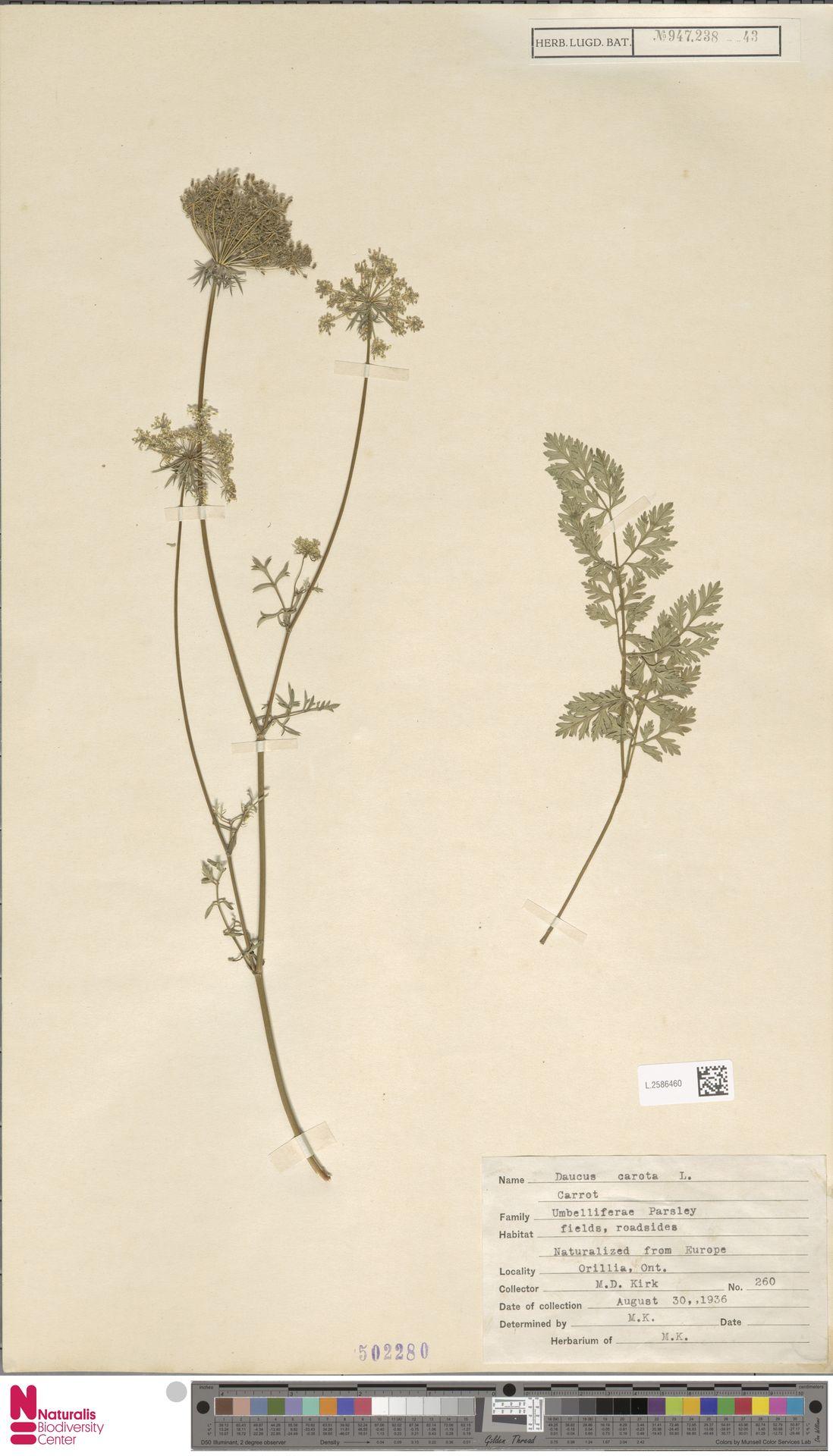 L.2586460   Daucus carota L.