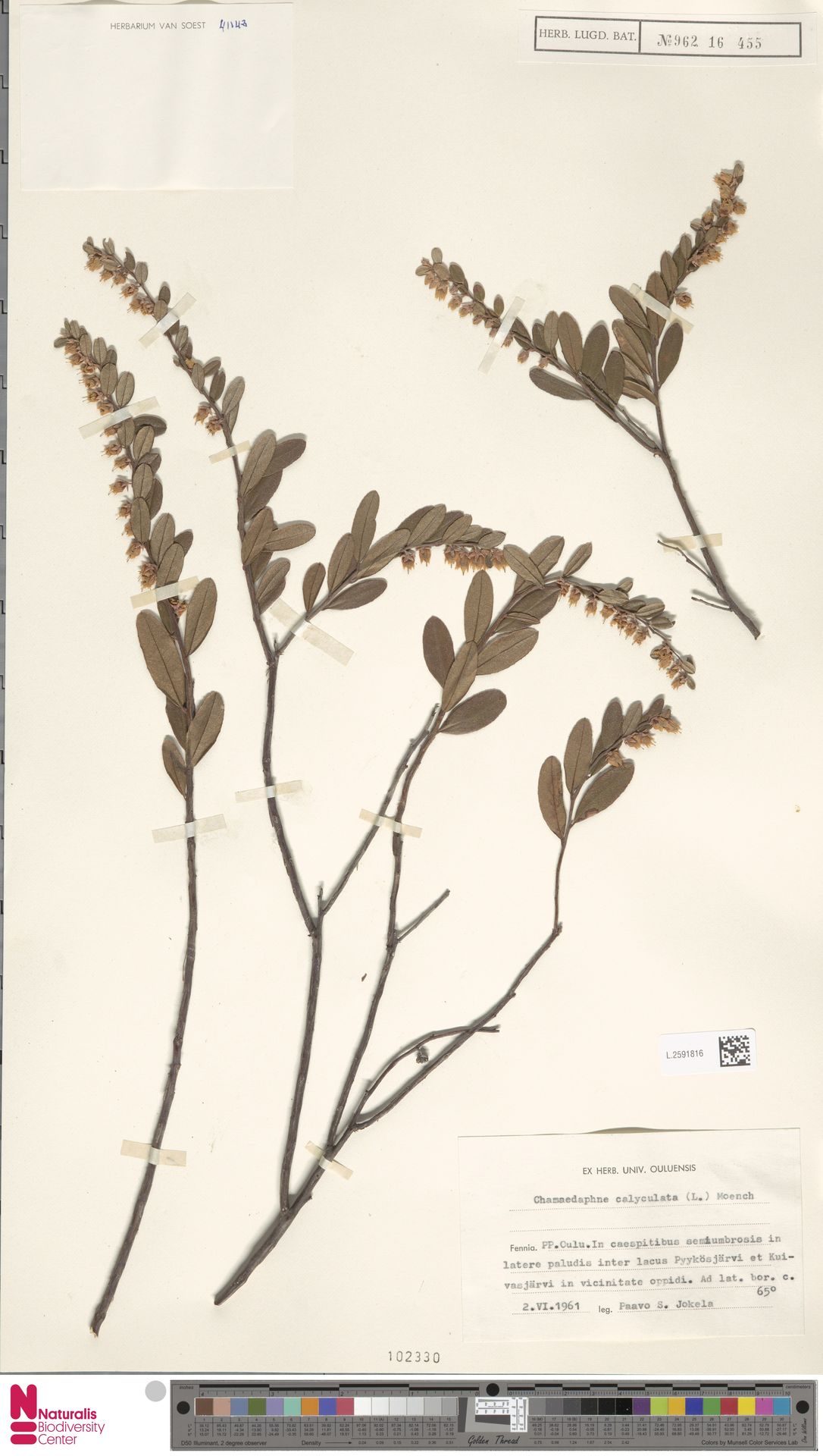 L.2591816 | Chamaedaphne calyculata (L.) Moench