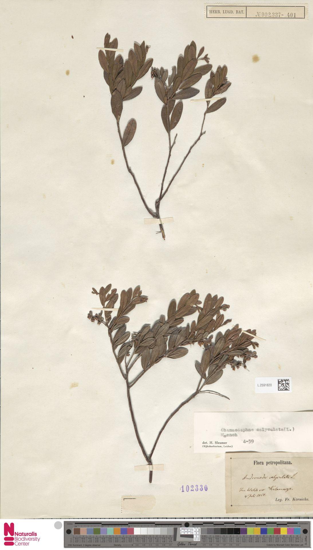 L.2591820 | Chamaedaphne calyculata (L.) Moench