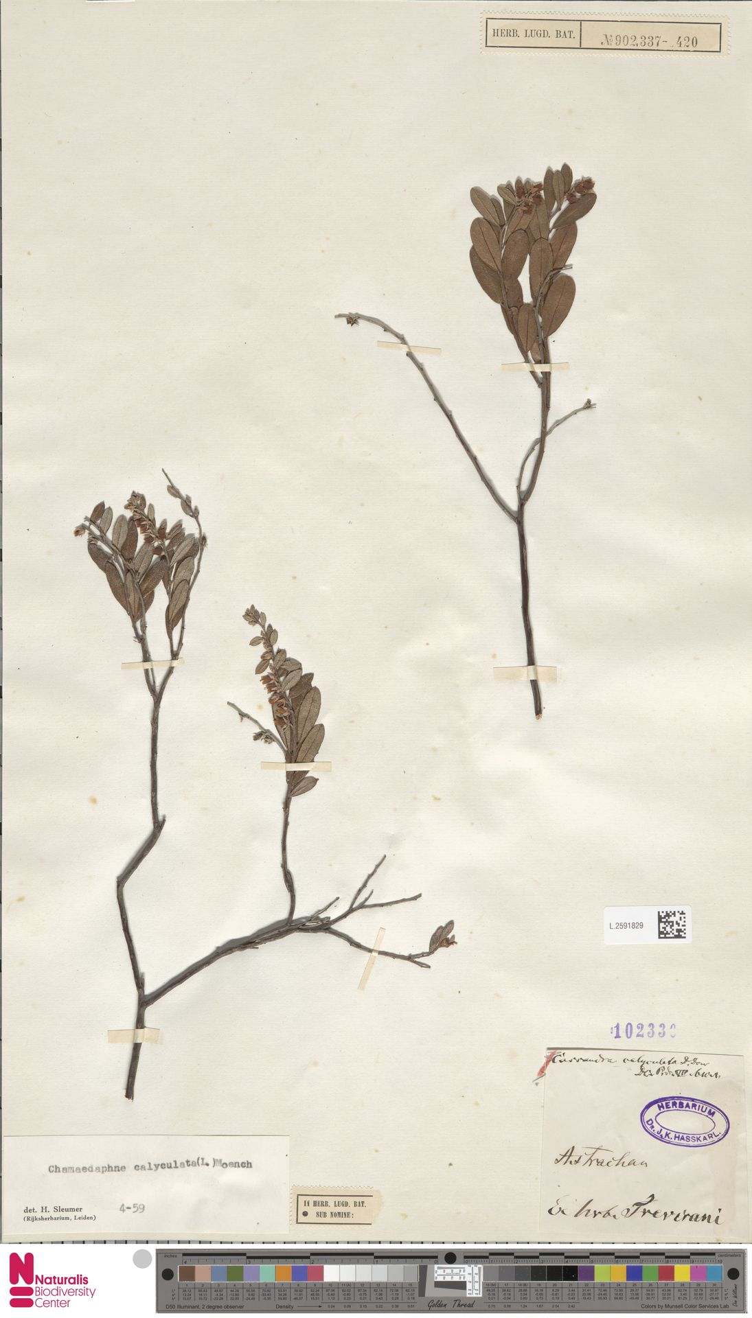 L.2591829 | Chamaedaphne calyculata (L.) Moench
