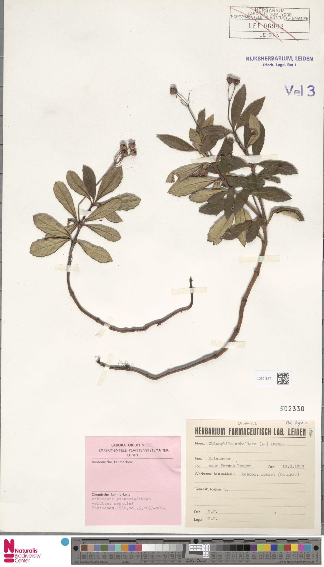 L.2591877   Chimaphila umbellata (L.) W.C.Barton