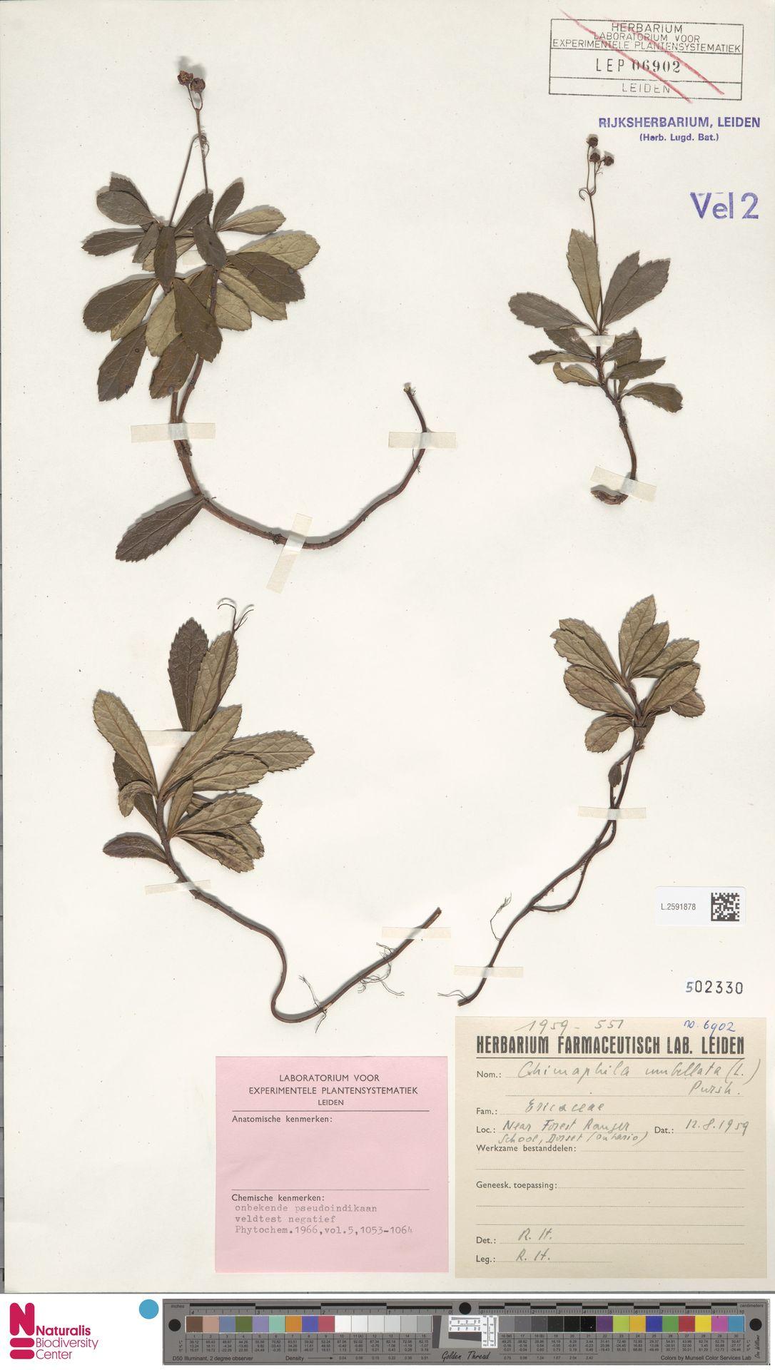 L.2591878 | Chimaphila umbellata (L.) W.C.Barton