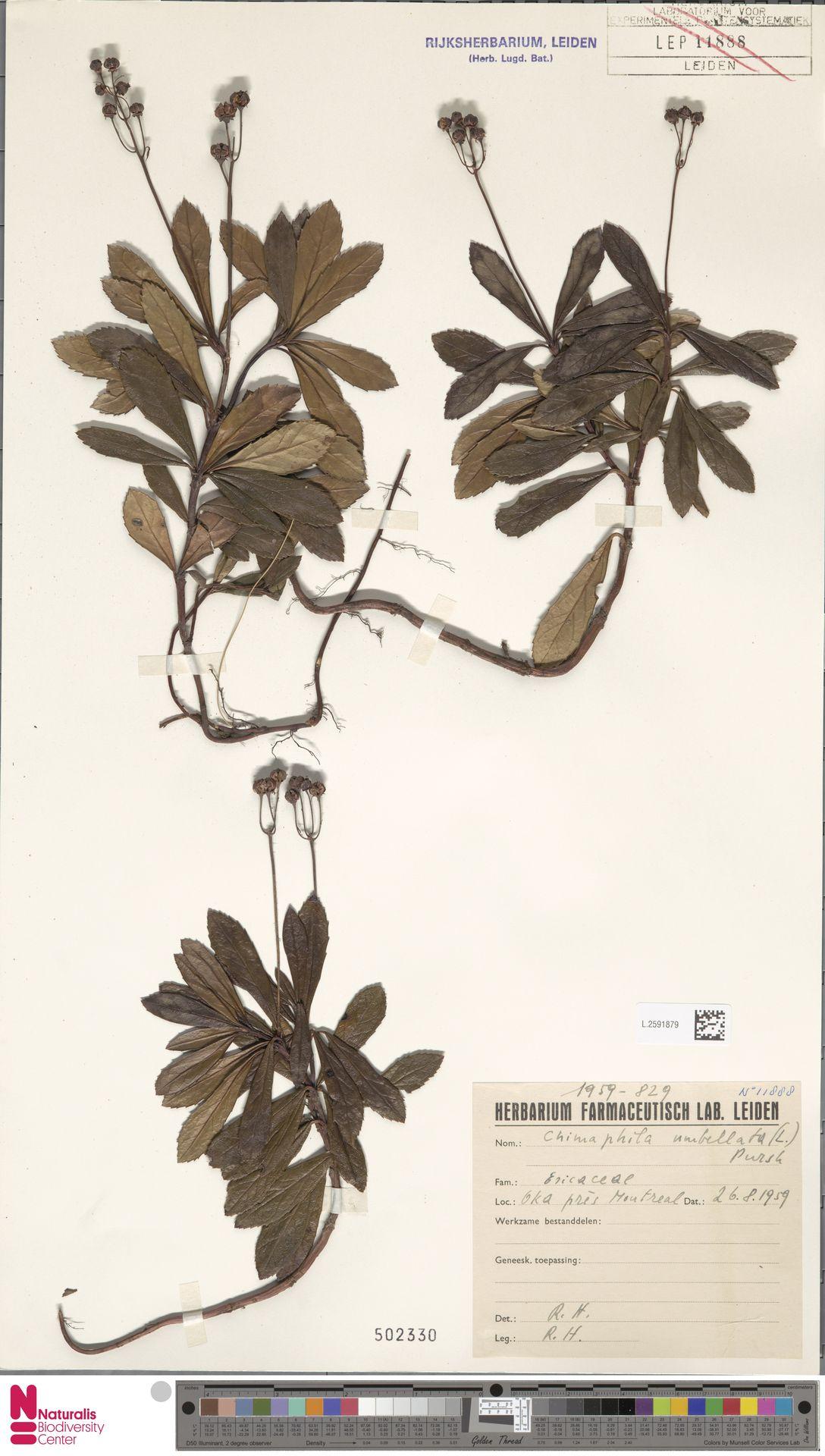 L.2591879 | Chimaphila umbellata (L.) W.C.Barton