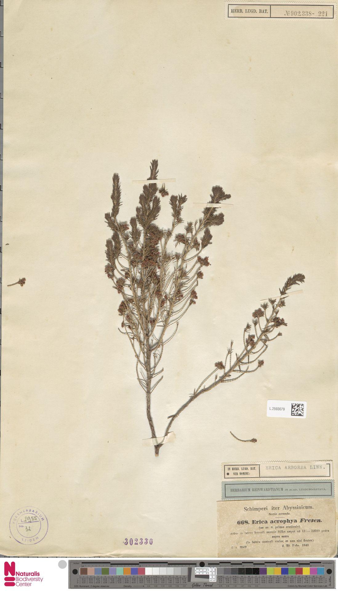 L.2593079 | Erica arborea L.