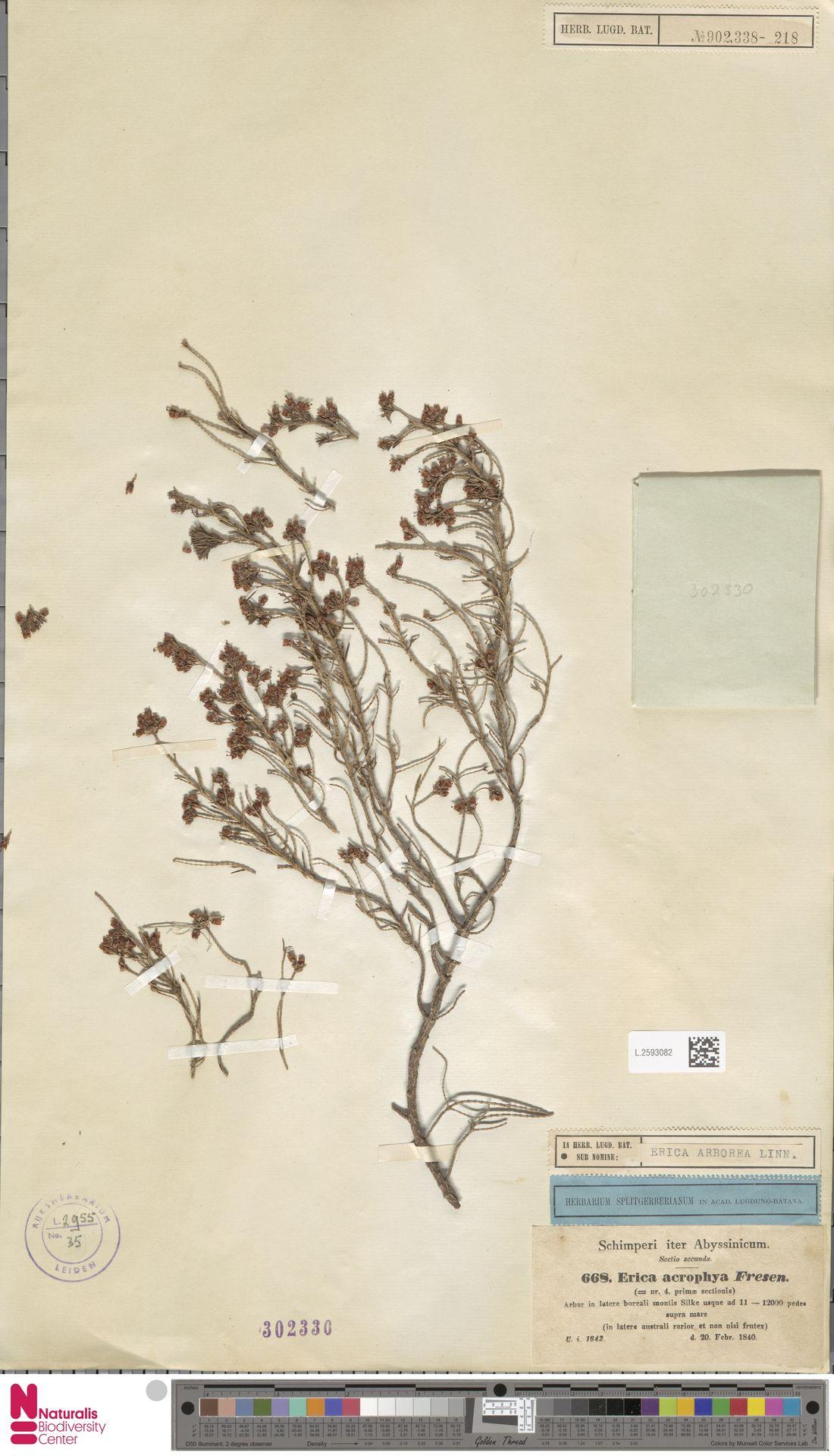 L.2593082   Erica arborea L.
