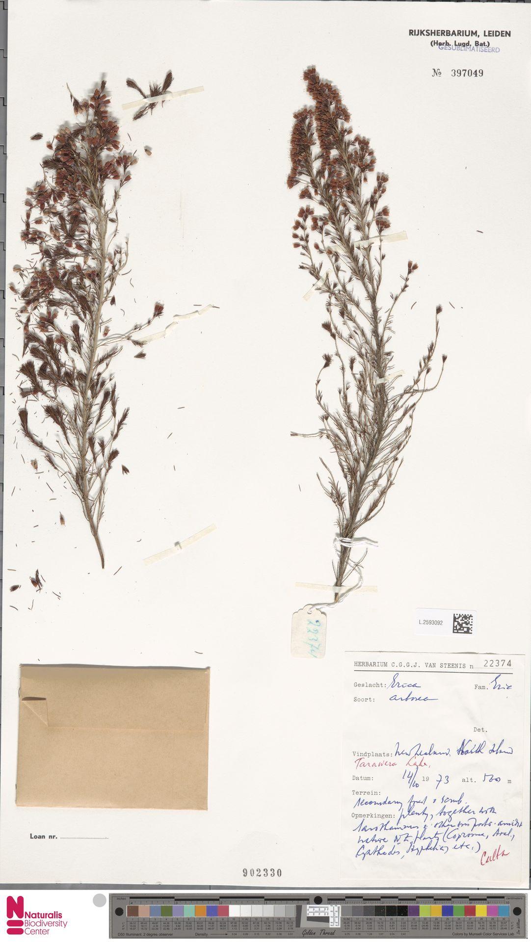 L.2593092   Erica arborea L.