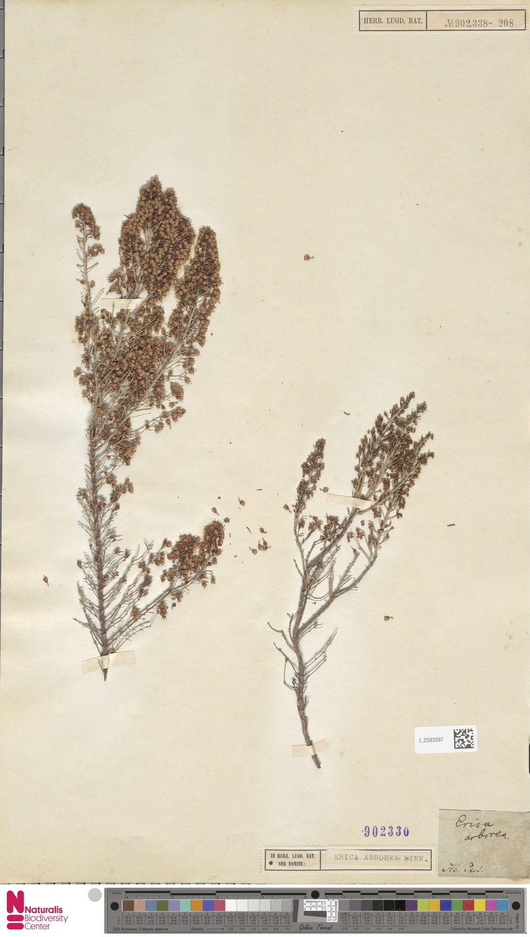 L.2593097 | Erica arborea L.