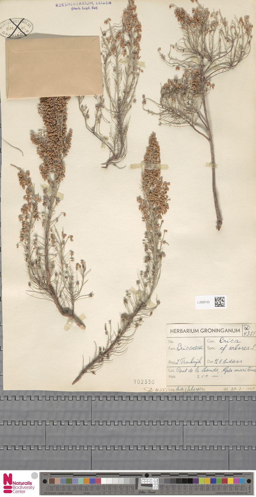 L.2593133 | Erica arborea L.